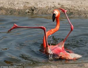 http://colunas.globorural.globo.com/planetabicho/2011/03/18/flamingo-se-desequilibra-e-leva-tombo-em-zoologico-de-moscou/flamingo/