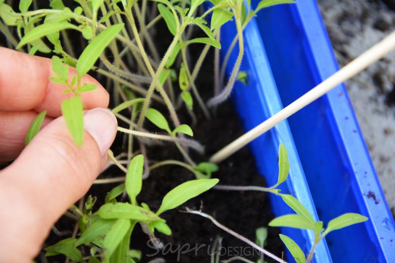 tomaten-säen-saat-balkon-sapri-design-selbstversorger-garten-obst-gemüse-anpflanzen-umtopfen-13