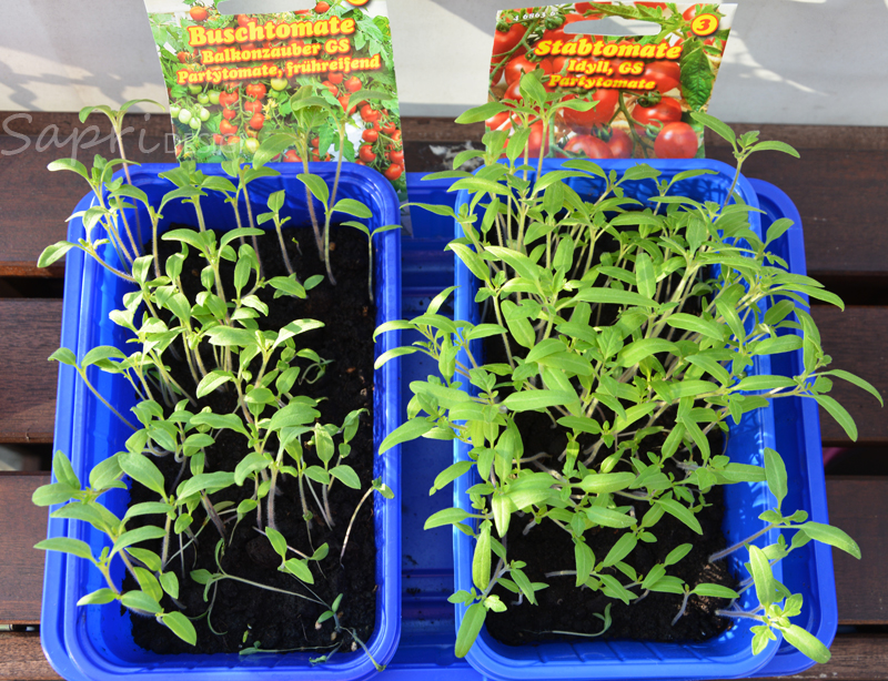 tomaten-säen-saat-balkon-sapri-design-selbstversorger-garten-obst-gemüse-anpflanzen-umtopfen-14