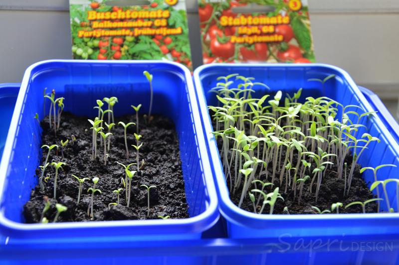 tomaten-säen-saat-balkon-sapri-design-selbstversorger-garten-obst-gemüse-anpflanzen-umtopfen-17