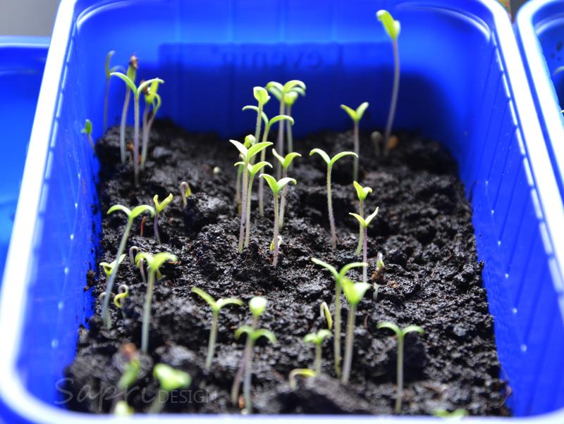tomaten-säen-saat-balkon-sapri-design-selbstversorger-garten-obst-gemüse-anpflanzen-umtopfen-18