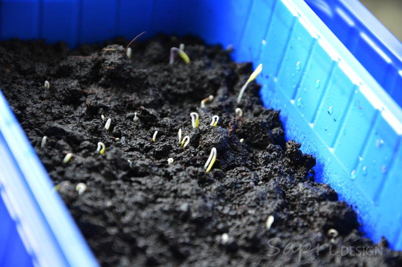 tomaten-säen-saat-balkon-sapri-design-selbstversorger-garten-obst-gemüse-anpflanzen-umtopfen-4