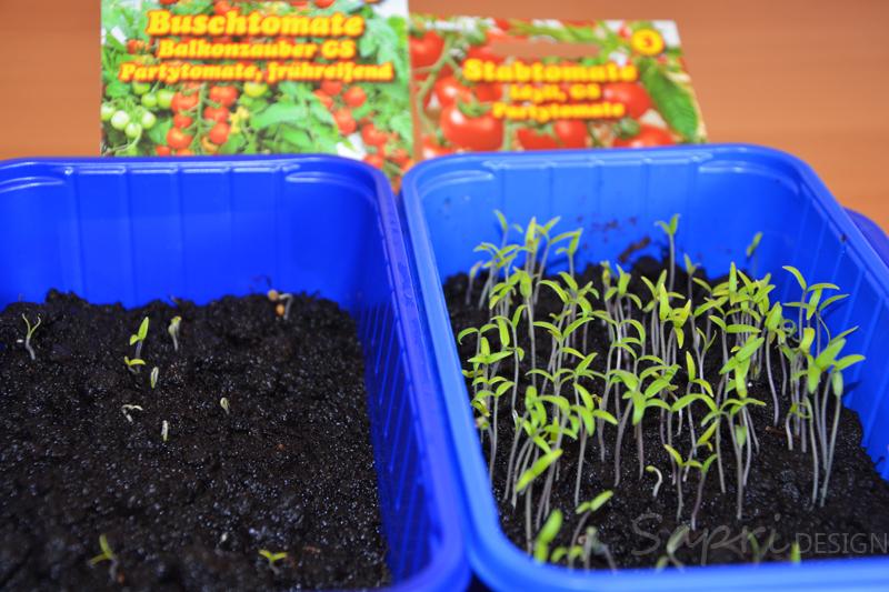 tomaten-säen-saat-balkon-sapri-design-selbstversorger-garten-obst-gemüse-anpflanzen-umtopfen-9