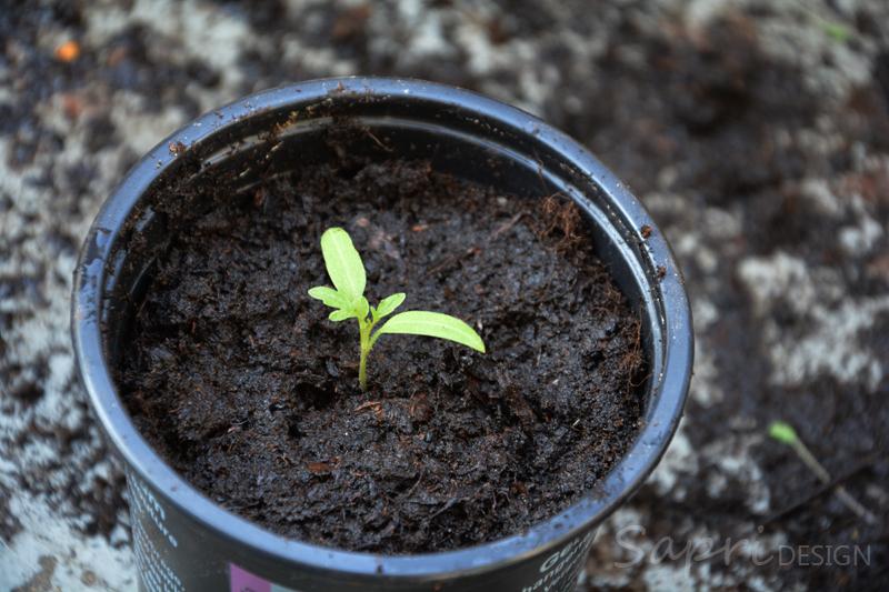 tomaten-säen-saat-balkon-sapri-design-selbstversorger-garten-obst-gemüse-anpflanzen-umtopfen