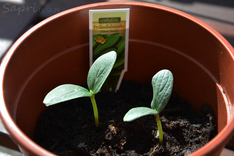 sapri-design-tomaten-selber-züchten-saat-zucht-gurken-erdbeeren-möhren-pflanzset-balkon-garten-selbstversorger-3