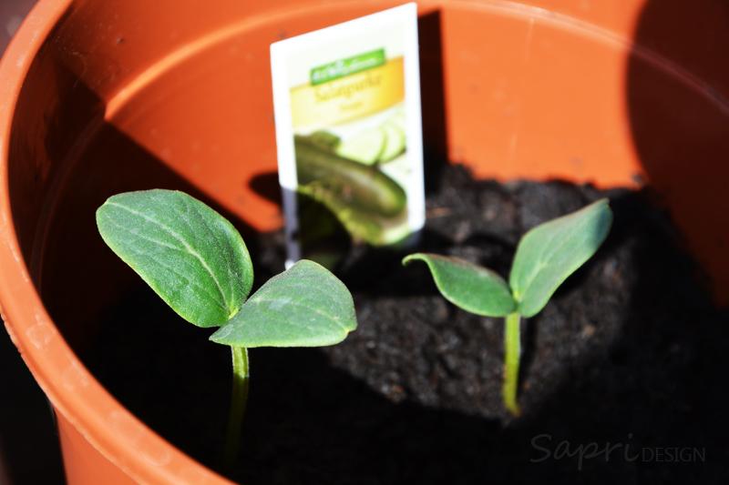 sapri-design-tomaten-selber-züchten-saat-zucht-gurken-erdbeeren-möhren-pflanzset-balkon-garten-selbstversorger-4