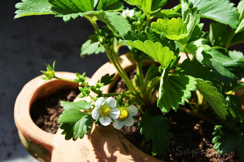 sapri-design-tomaten-selber-züchten-saat-zucht-gurken-erdbeeren-möhren-pflanzset-balkon-garten-selbstversorger-5