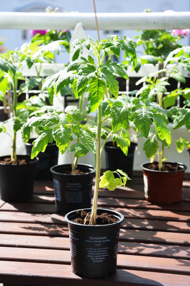 sapri-design-tomaten-selber-züchten-saat-zucht-gurken-erdbeeren-möhren-pflanzset-balkon-garten-selbstversorger