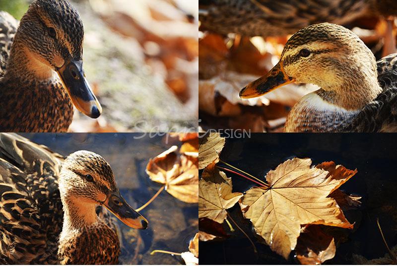 herbst-collage-enten-schwäne-gänse-vögel-park-spaziergang-sapri-design-wasser